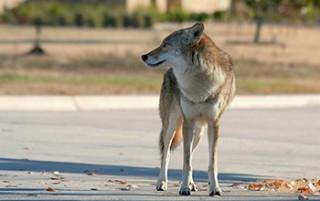 Cities are making mammals bigger